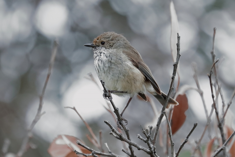 Brown Thornbill (Jeffrey Robinson)