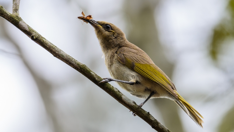 Brown Honeyeater (Peter Latta)