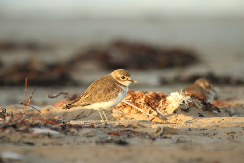 Double-banded Plover (Daniel Lees)