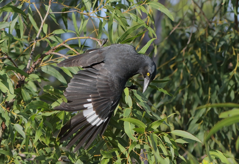 Pied Currawong (Mary Wheeler)