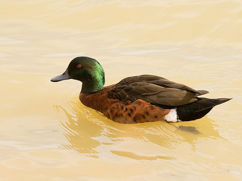 Chestnut Teal - Bruce Mcnaughton