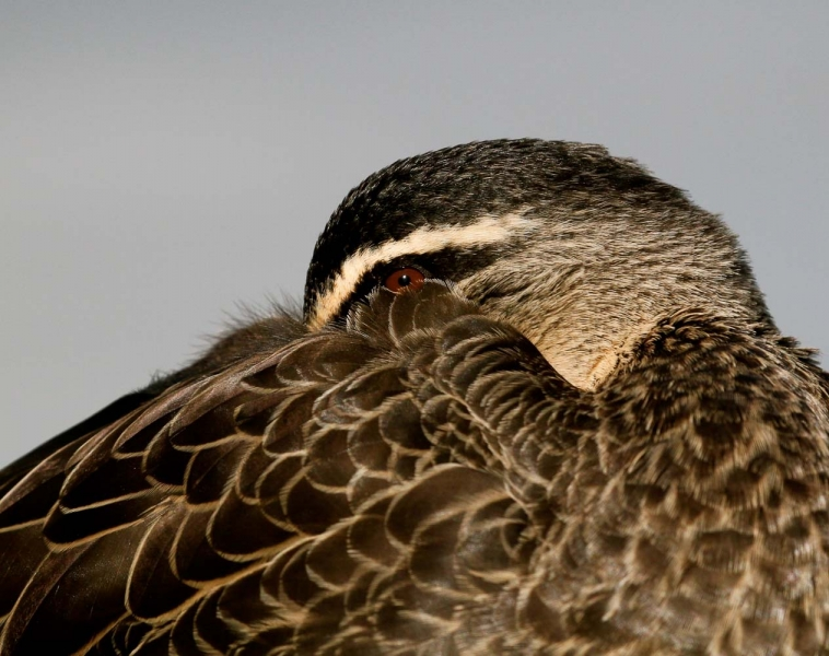 Pacific Black Duck - Pennie Marks
