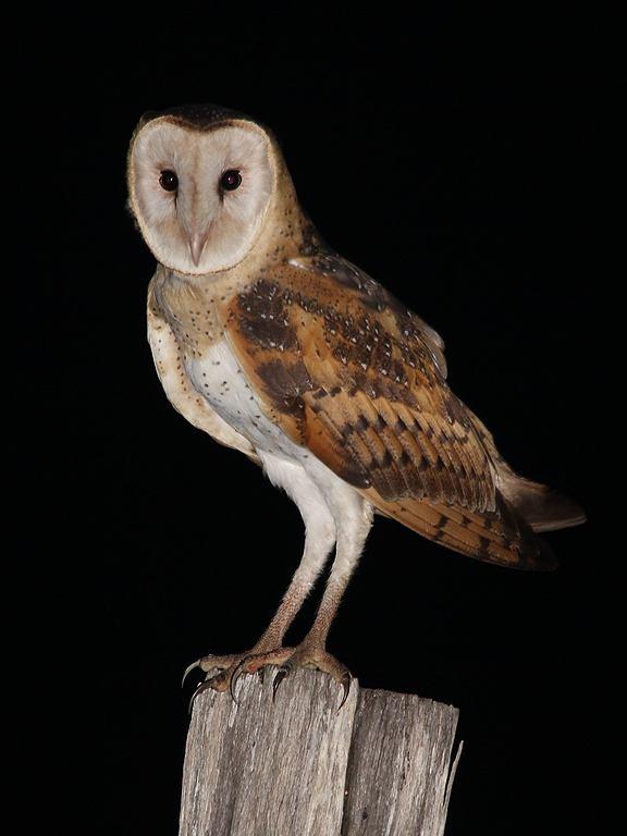 Eastern Grass Owl (Image ID 7422)