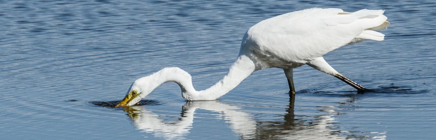 Great Egret (Image ID 19583)