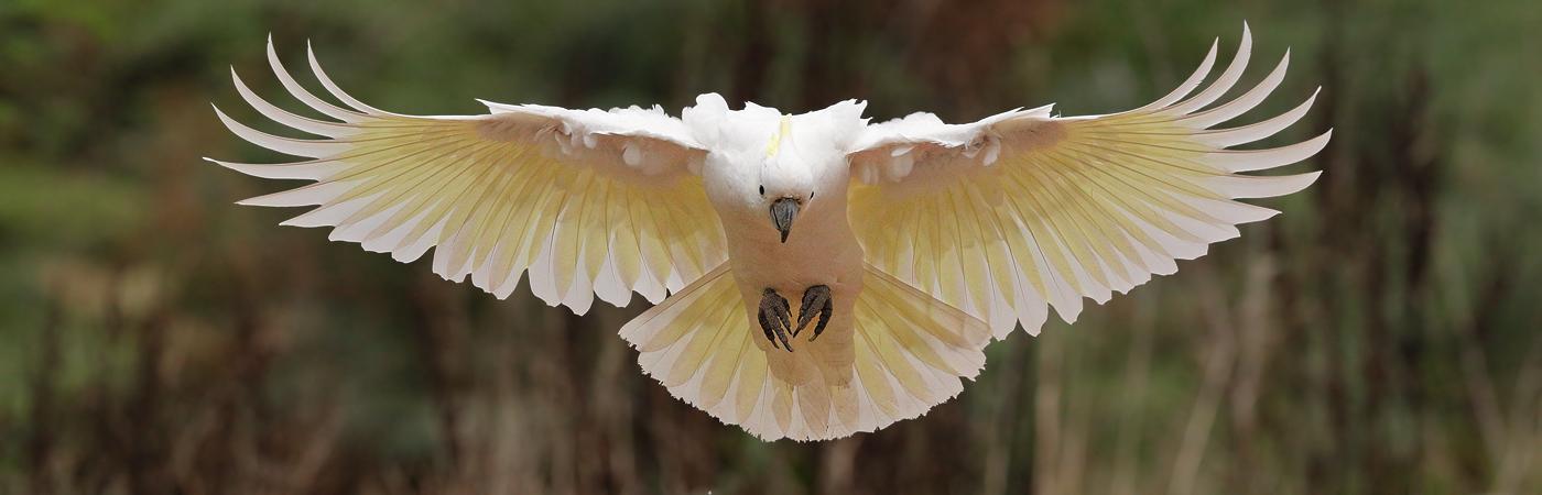 Sulphur-crested Cockatoo (Image ID 20197)