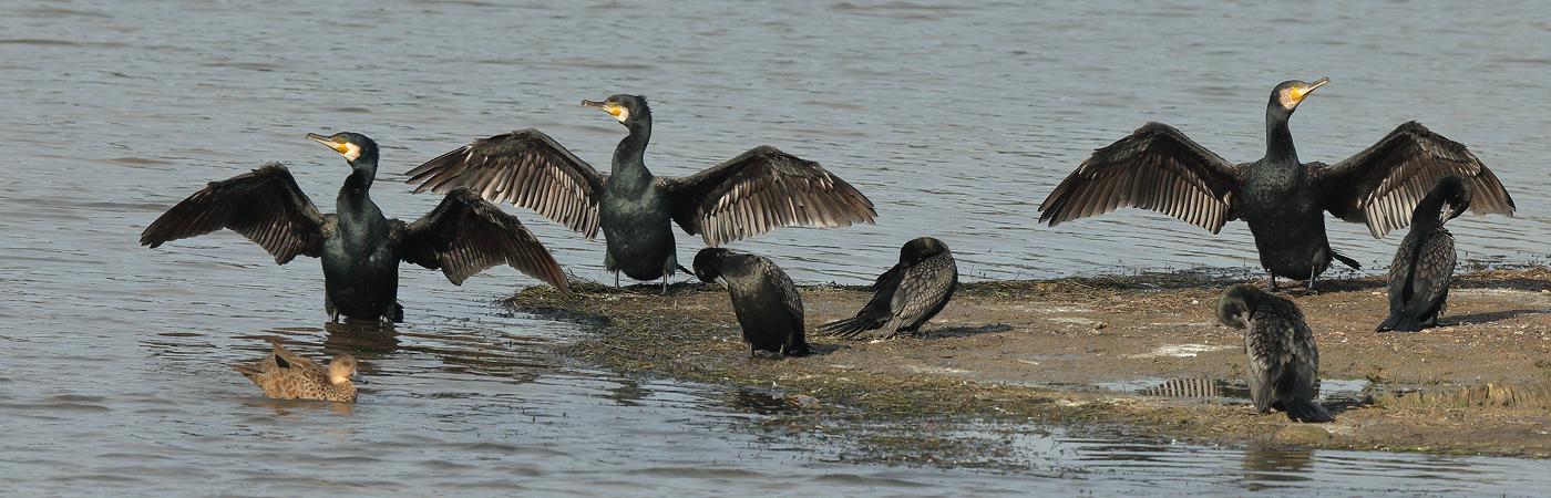 Great Cormorant (Image ID 20654)