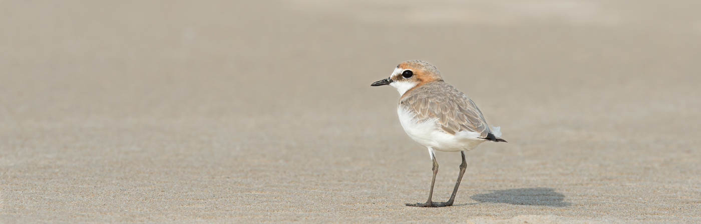 Red-capped Plover (Image ID 20406)