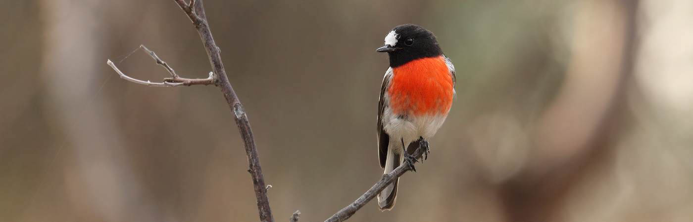Scarlet Robin complex (Image ID 20270)