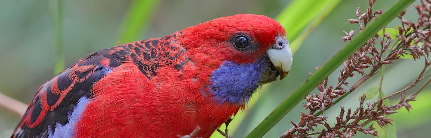 Crimson Rosella (Image ID 21044)