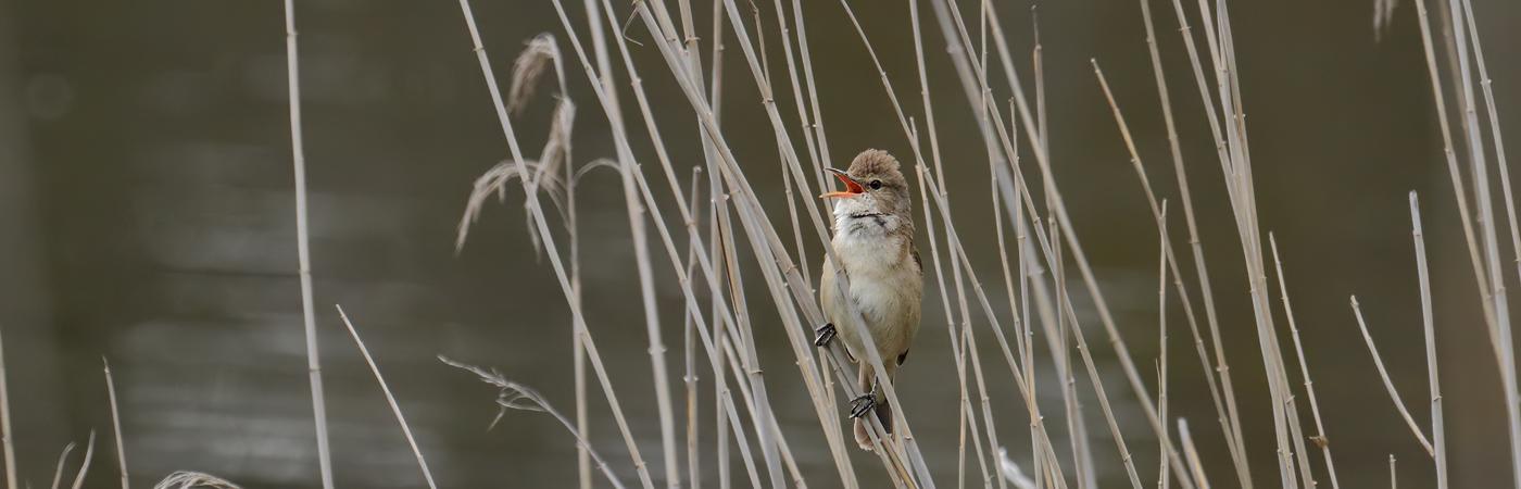 Australian Reed-Warbler (Image ID 22953)