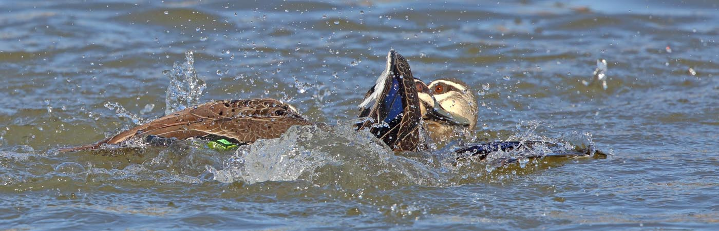 Pacific Black Duck (Image ID 23377)