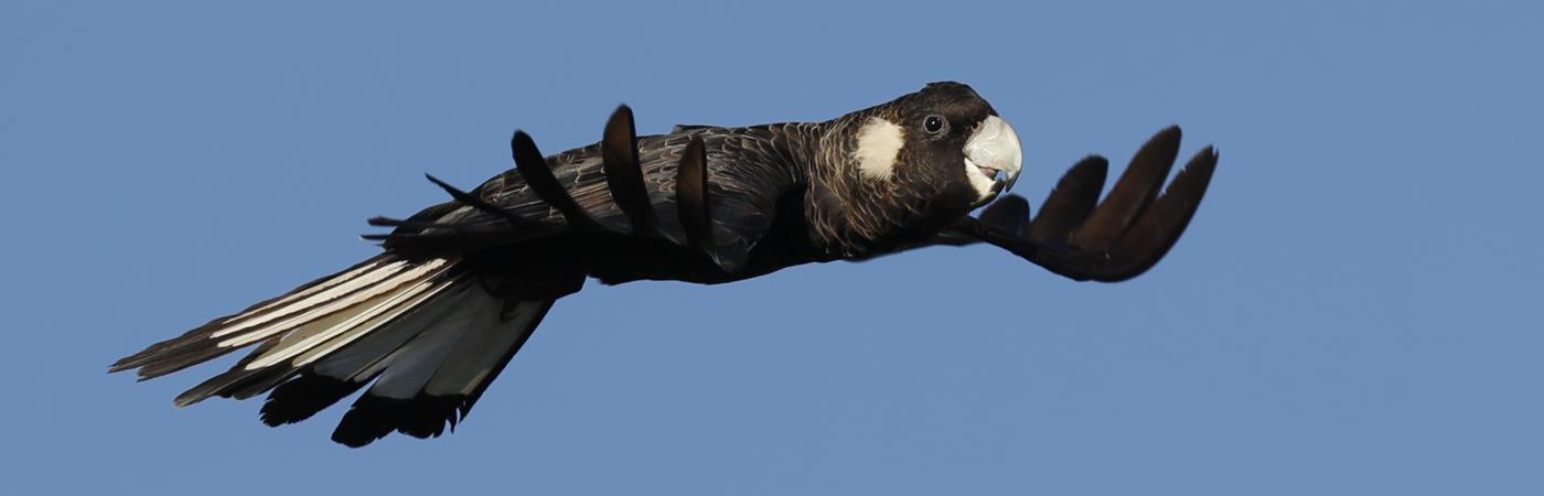 Carnaby's Black-Cockatoo (Image ID 23526)