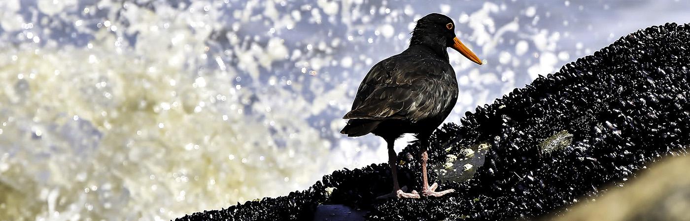 Sooty Oystercatcher (Image ID 23570)