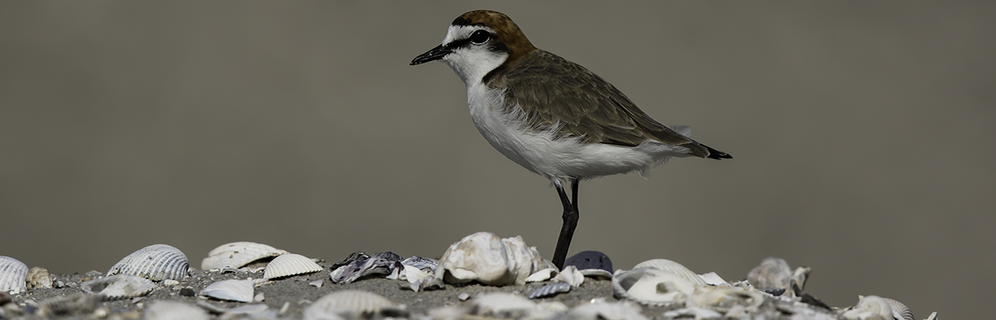 Red-capped Plover (Image ID 23571)