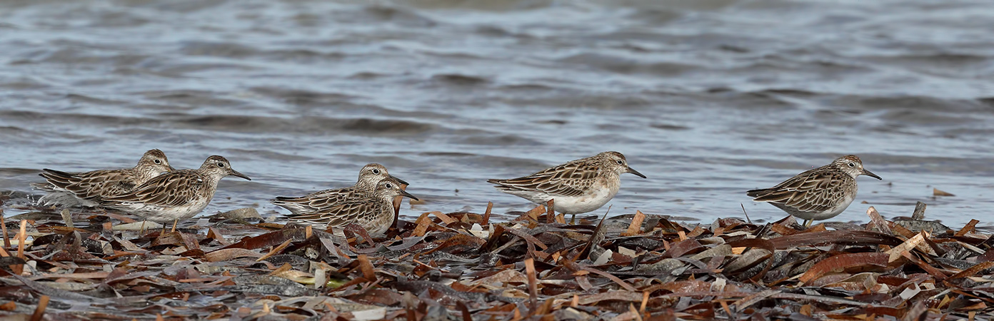 Sharp-tailed Sandpiper (Image ID 24182)