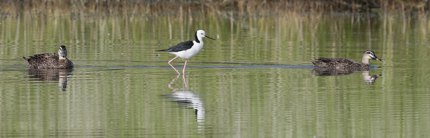 Pacific Black Duck,Pied Stilt (Image ID 24271)