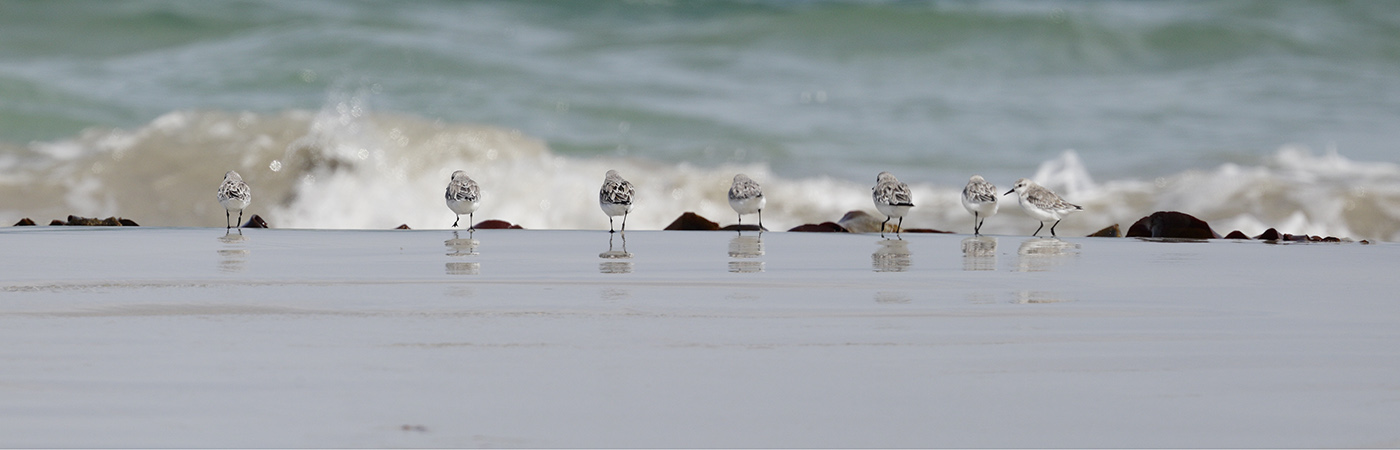 Red-necked Stint (Image ID 24577)