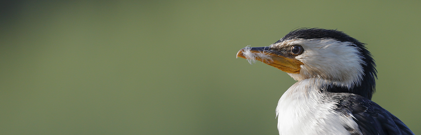Little Pied Cormorant (Image ID 25339)