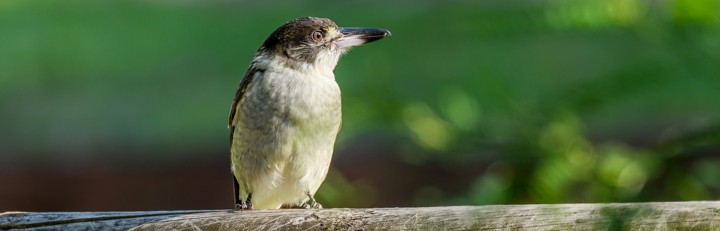 Grey Butcherbird complex (Image ID 25326)