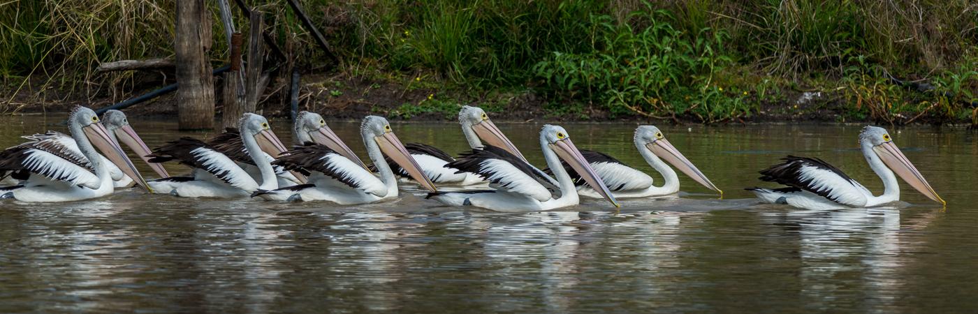 Australian Pelican (Image ID 25115)