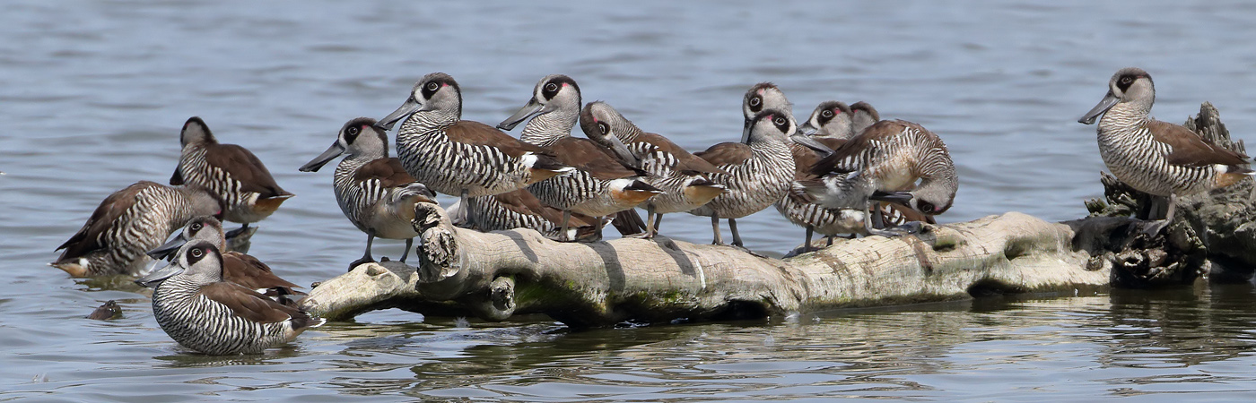 Pink-eared Duck (Image ID 24941)