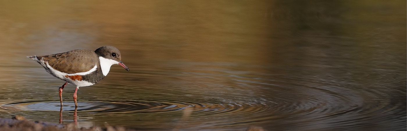 Red-kneed Dotterel (Image ID 25565)
