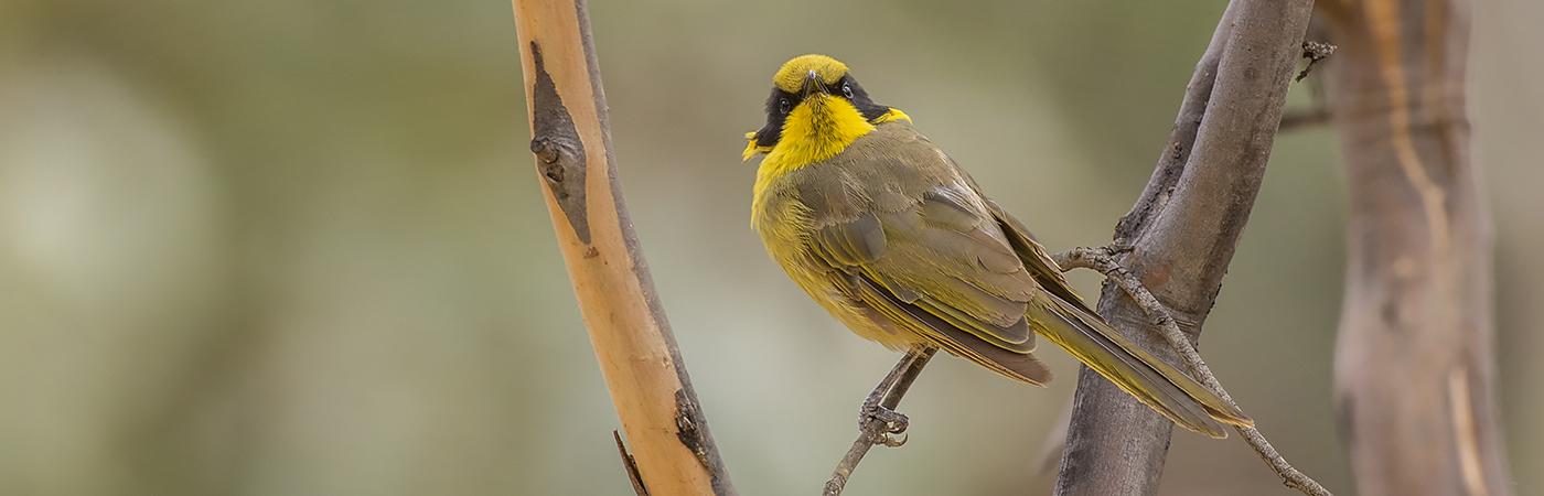 Yellow-tufted Honeyeater (Image ID 25888)