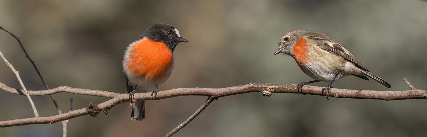 Scarlet Robin complex (Image ID 25890)