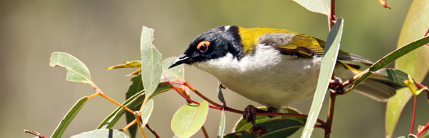 White-naped Honeyeater complex (Image ID 26185)