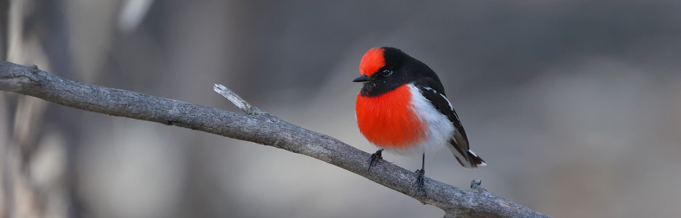 Red-capped Robin (Image ID 25918)