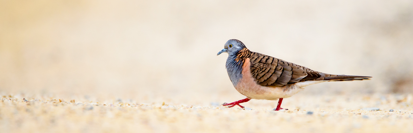 Bar-shouldered Dove (Image ID 27608)