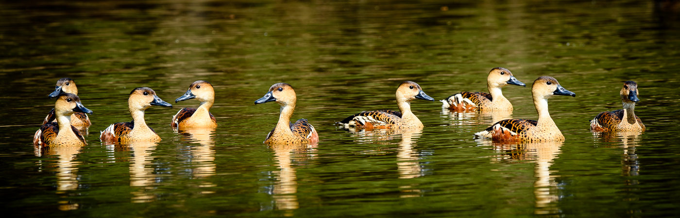 Wandering Whistling-Duck (Image ID 27782)