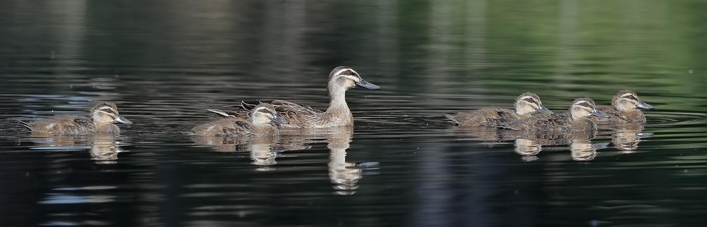 Pacific Black Duck (Image ID 27908)