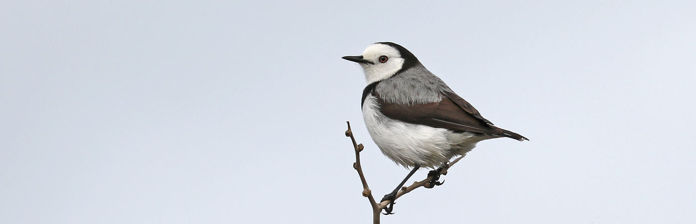 White-fronted Chat (Image ID 28215)