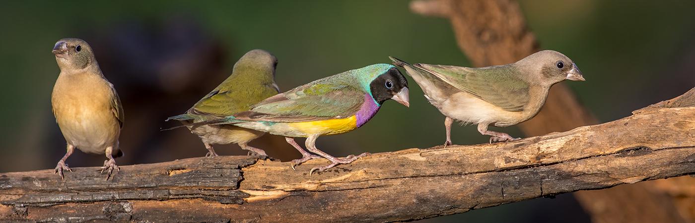 Gouldian Finch (Image ID 28168)