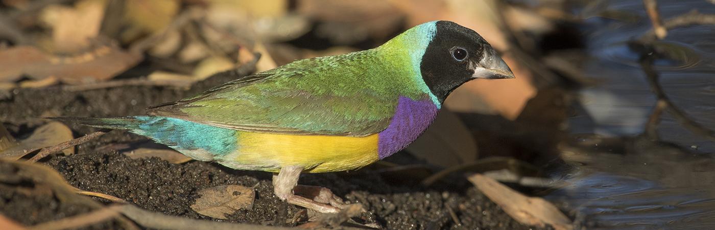 Gouldian Finch (Image ID 28164)