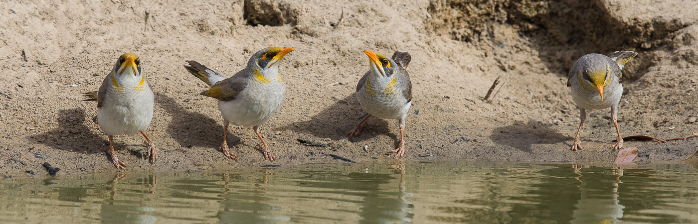 Yellow-throated Miner (Image ID 29052)