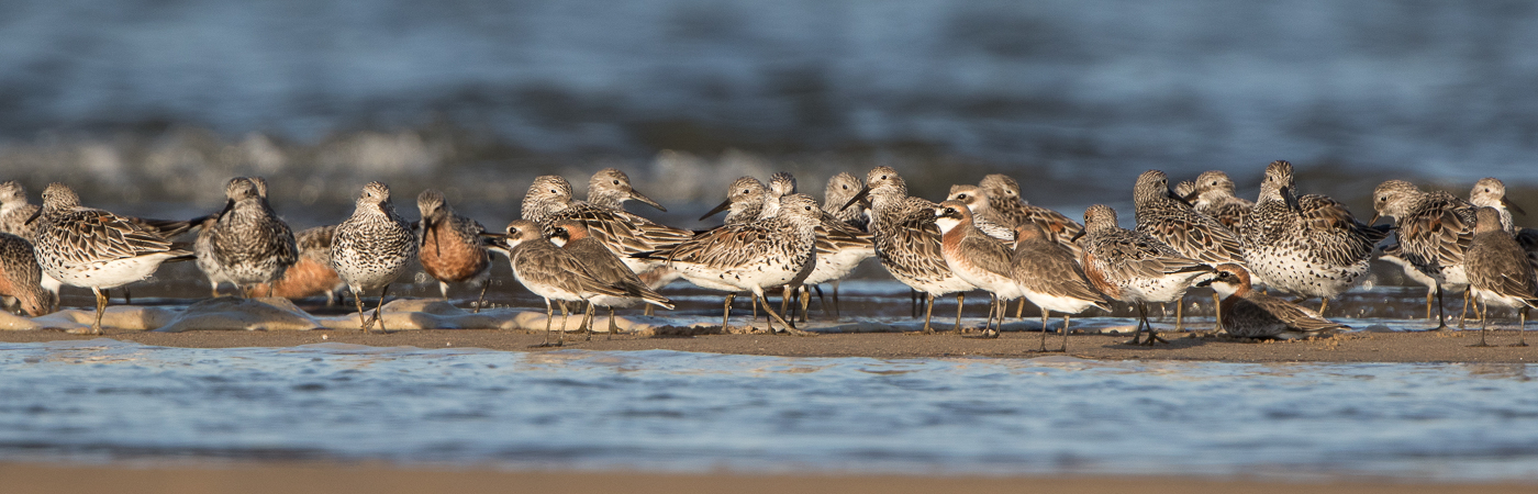 Lesser Sand Plover,Great Knot,Red Knot (Image ID 29675)