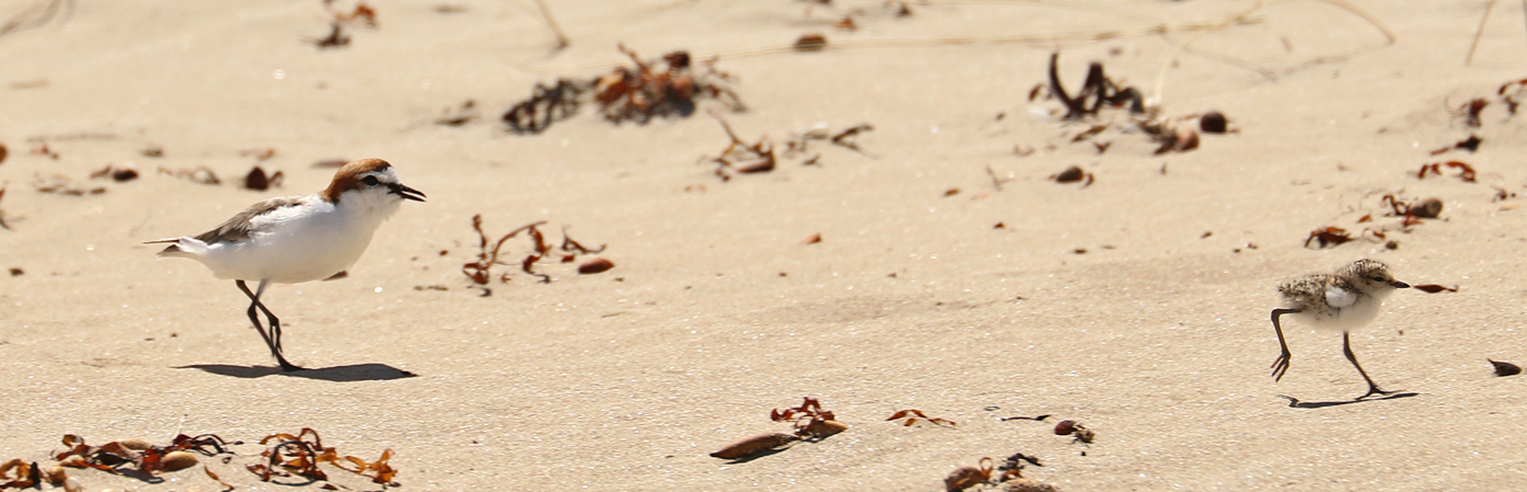 Red-capped Plover (Image ID 29629)