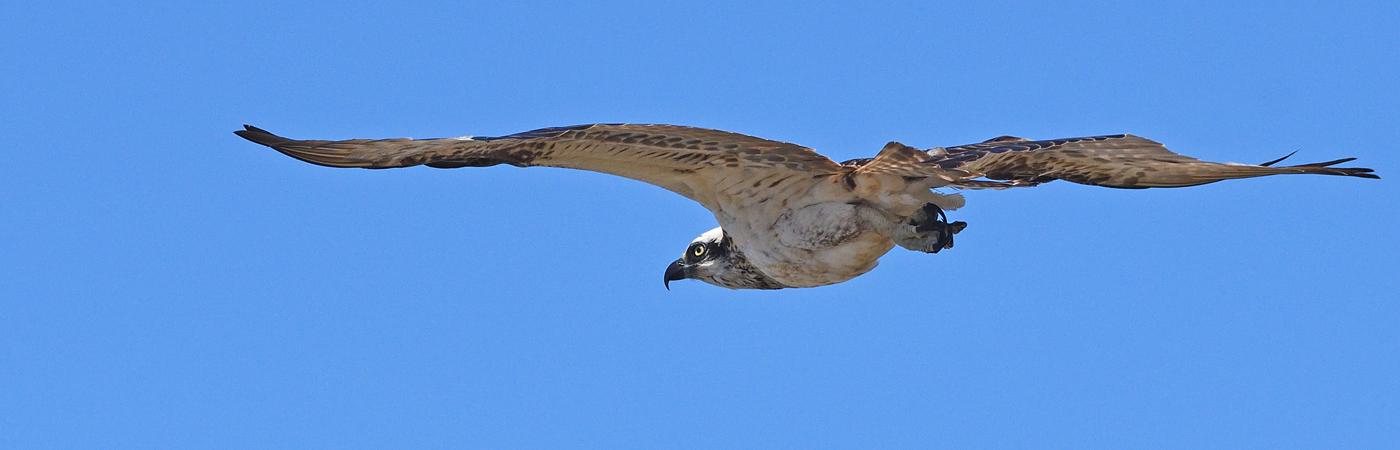 Osprey (Image ID 29959)