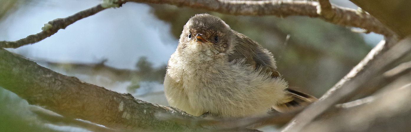 Buff-rumped Thornbill (Image ID 29954)