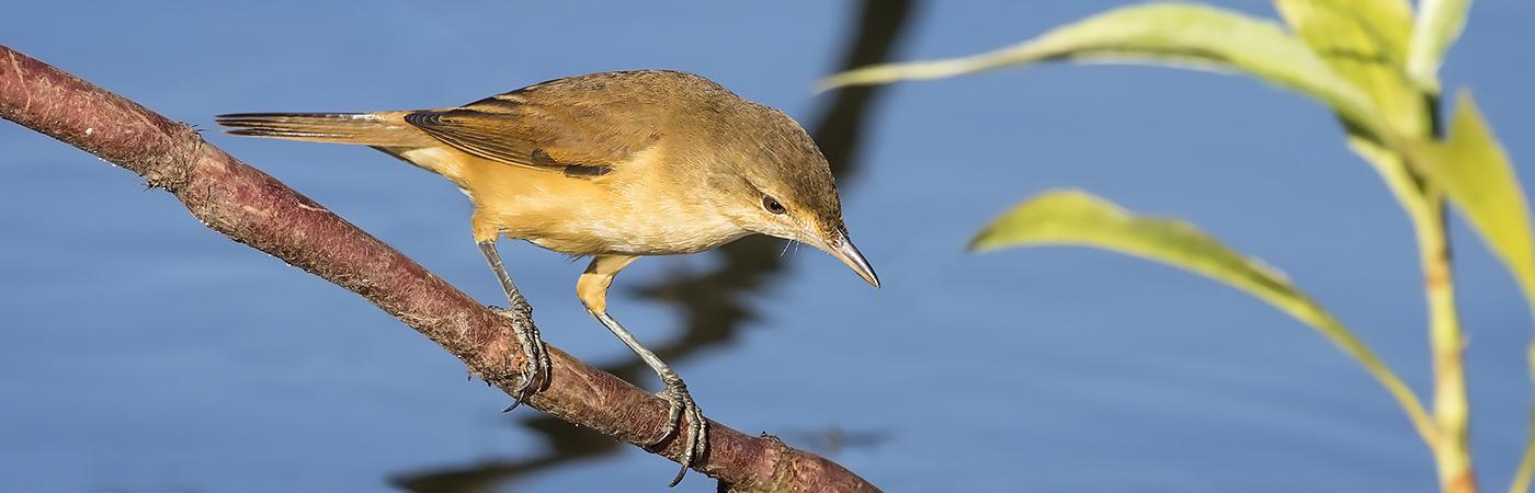 Australian Reed-Warbler (Image ID 29867)