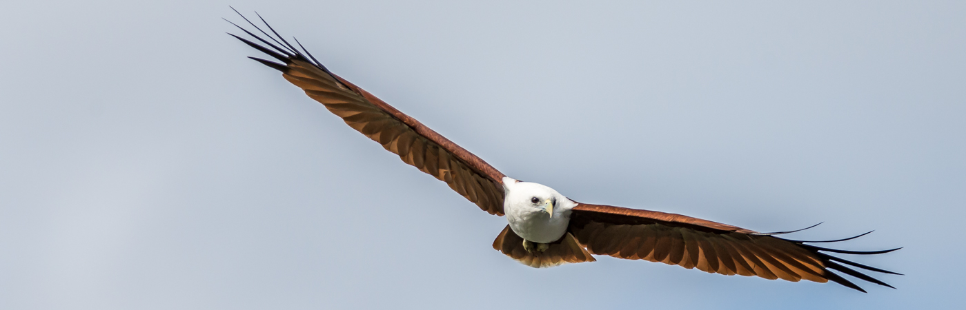 Brahminy Kite (Image ID 30637)