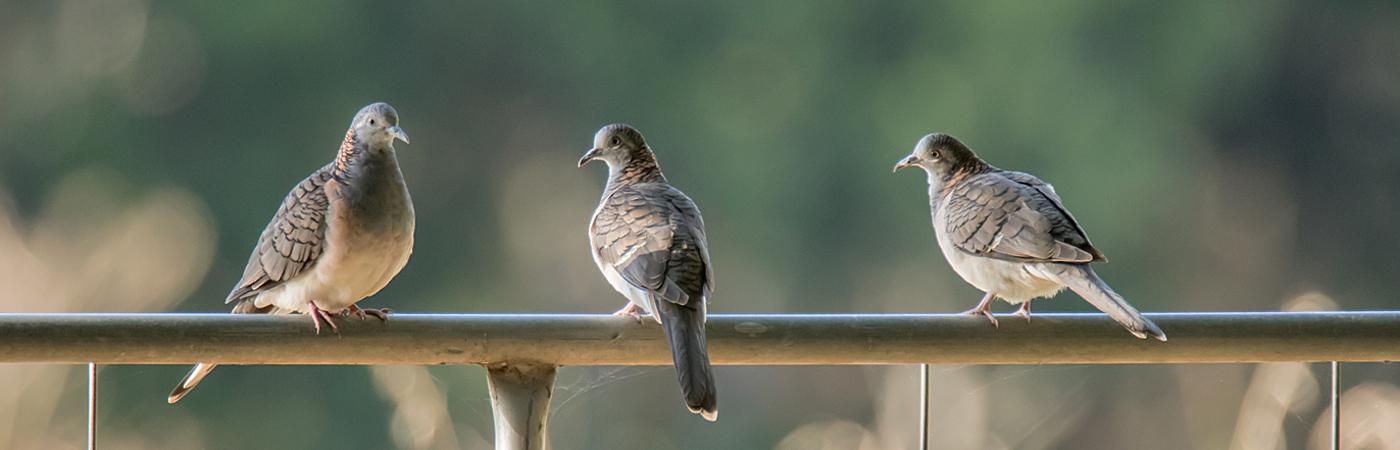 Bar-shouldered Dove (Image ID 31003)