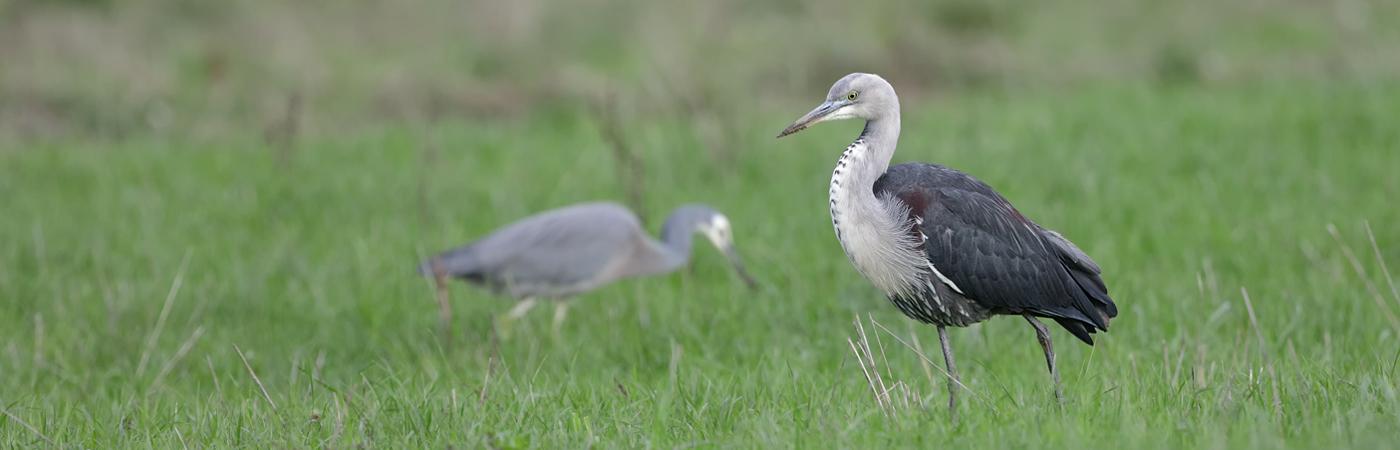 White-necked Heron,White-faced Heron (Image ID 30877)