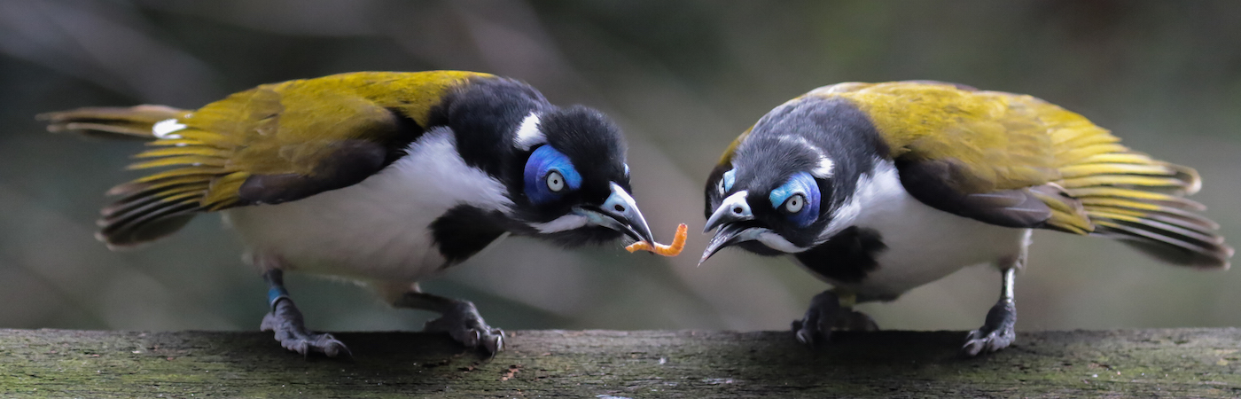 Blue-faced Honeyeater complex (Image ID 31236)