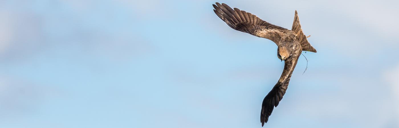 Black Kite (Image ID 31526)