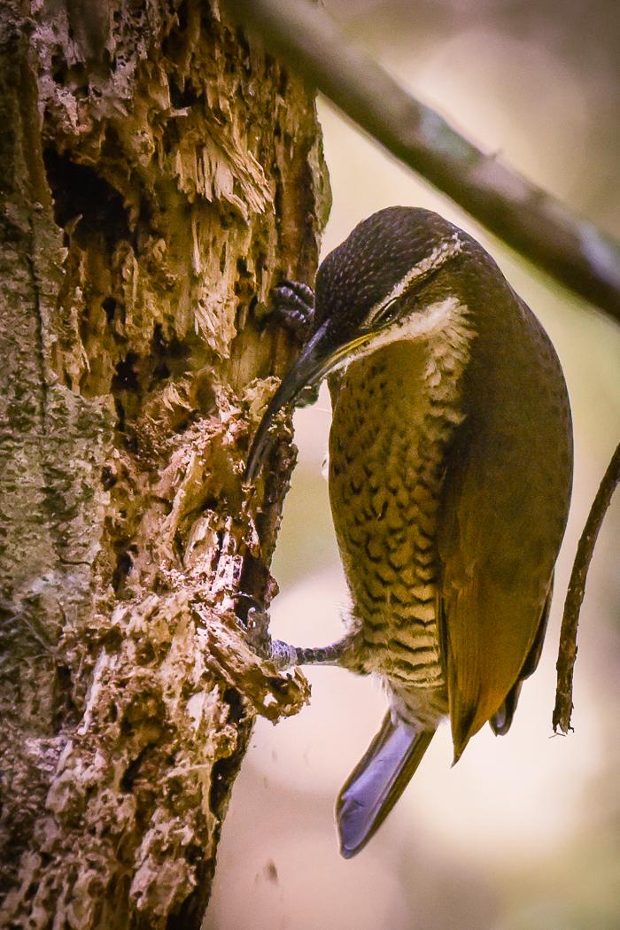 Paradise Riflebird (Image ID 31604)