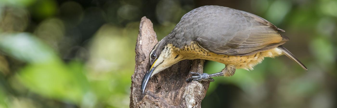 Victoria's Riflebird (Image ID 31797)