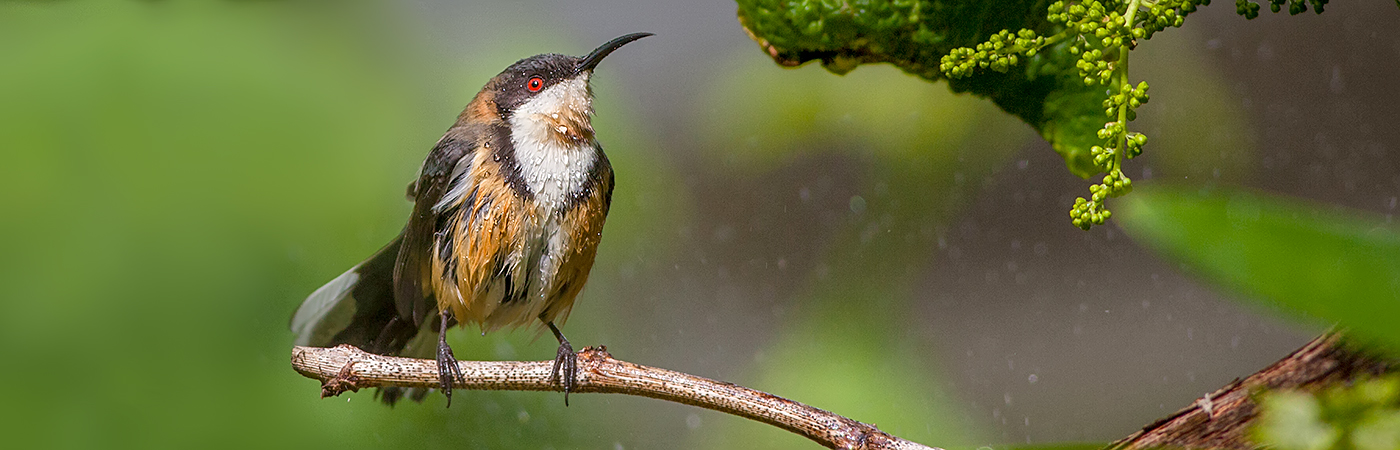 Eastern Spinebill (Image ID 31795)